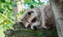 How You Can Hunt Raccoon Without Hunting Dogs